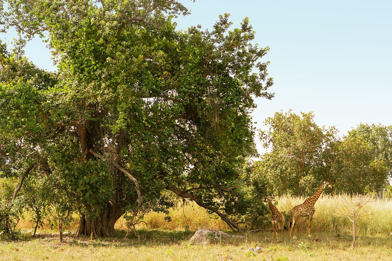 Gambia - De Fathala Wildlife Reserve, Senegal